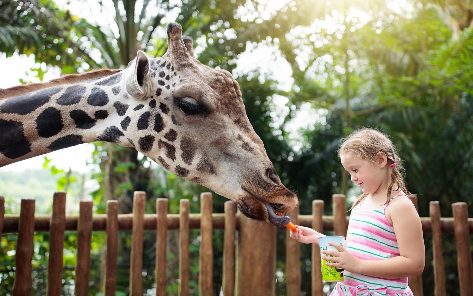 Zoologická zahrada žirafa